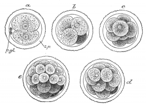 The development of a morula. *This* becomes a human being.