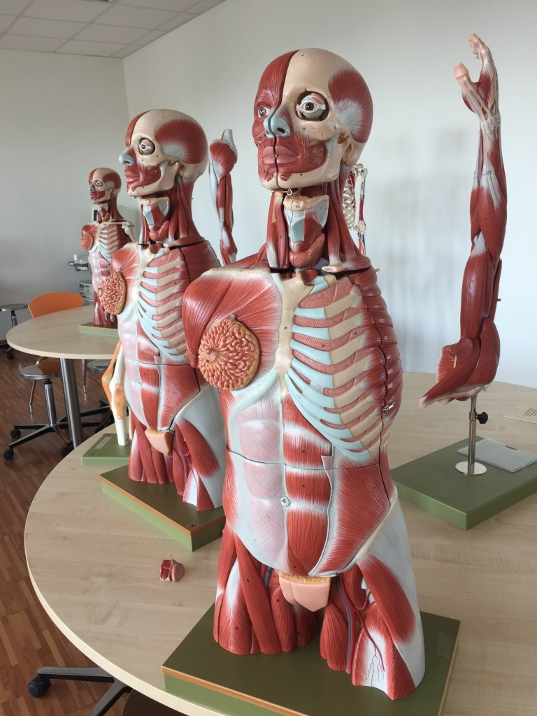 This is a model used to teach anatomy at Humanitas